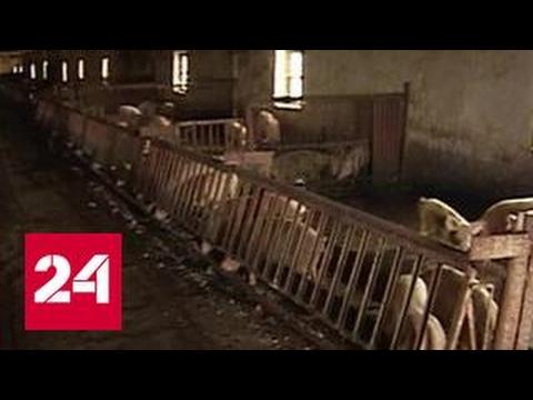 В Подмосковье пришла африканская чума свиней