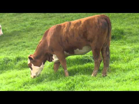 B+LNZ Dairy Beef Integration – an interview on Rural Delivery
