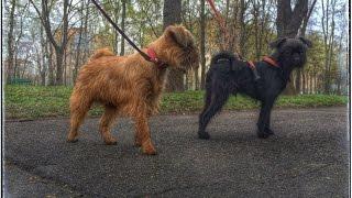 Подрощенные щенки гриффона не продаются. Видео от 1.5.2015