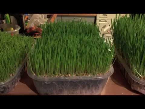 comment-faire-pousser-de-l'herbe-de-blé-?