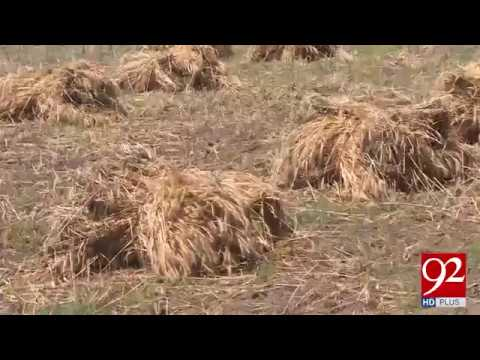 Due to rain in Punjab ,Climate change is affecting wheat crops - 20 April 2018 - 92NewsHDPlus