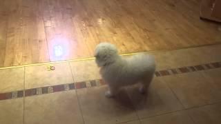 Пиренейская горная собака щенки