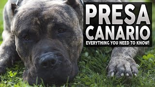 PRESA CANARIO 101! Everything You Need To Know About The Presa Canario!