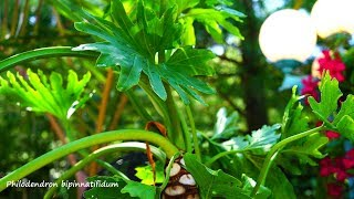 Philodendron Bipinnatifidum Potting and Care // Philodendron Selloum