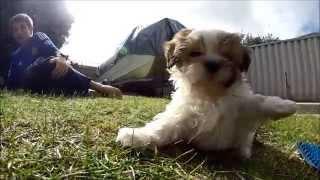 Cute Maltese Shih Tzu Cross (malshi) Puppy