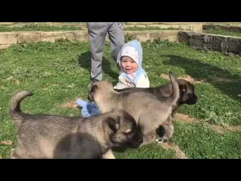 Baby and Kangal puppies