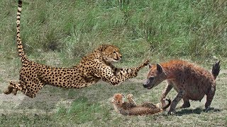 Mother Cheetah Protect Her Cubs From Hyena Hunting | Cheetah Cubs Escaped & Reunited With Mother