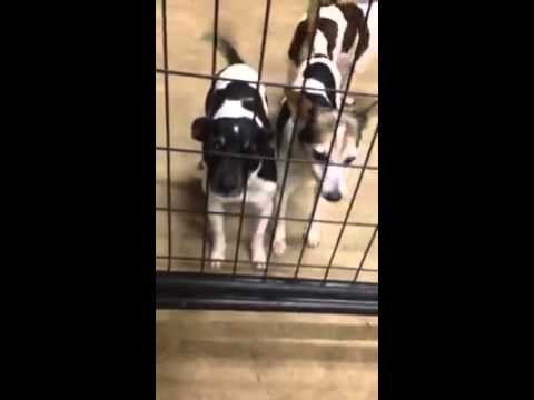 Harbor 3 Yr Old JRT Dachshund Mix And Rat Terriers Up For Adoption