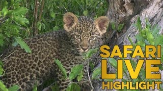 Little leopard learning valuable life skills with mom!