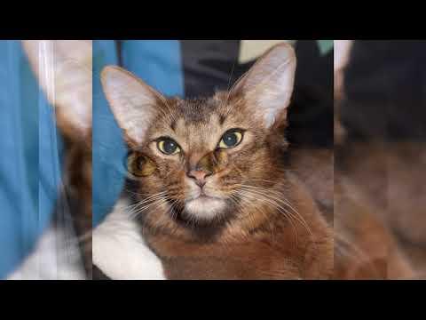 Сомалийская кошка. Плюсы и минусы, Цена, Как выбрать, Факты, Уход, История