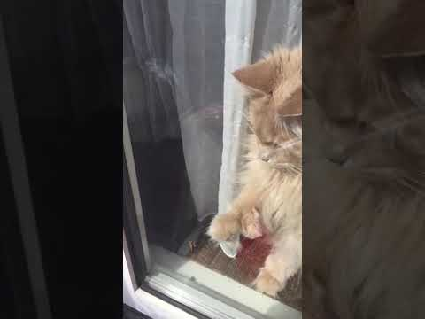 Maine Coon cat trying to catch a bug through glass ( CrazyCoonsNL )