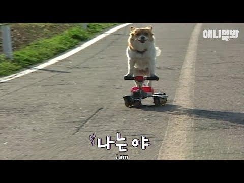 Dog riding inline skates?!