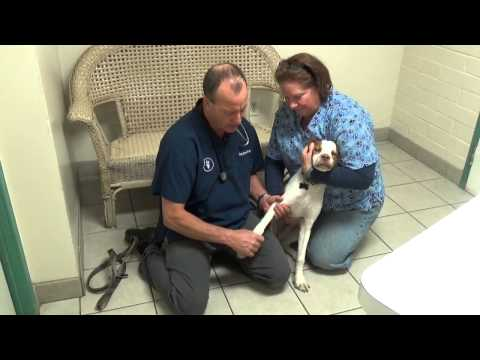 Limping Dog Muscle Strain Or Muscle Pull