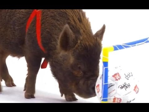 Smart Pigs vs Kids – Extraordinary Animals – Series 2 – Earth