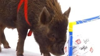 Smart Pigs vs Kids - Extraordinary Animals - Series 2 - Earth