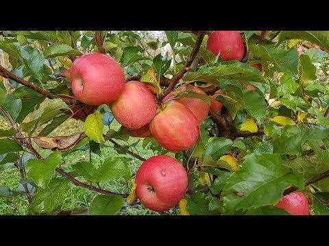 Яблоня Пинк Леди / Apple Pink Lady/