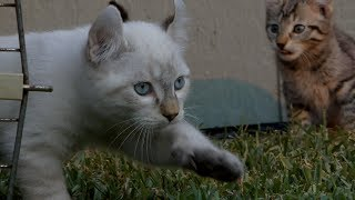 lynx hybrid kittens 8 weeks old, First time outside!11-20-2018