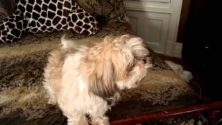 My 5 year old Shih-tzu . He howls like a wolf on command.
