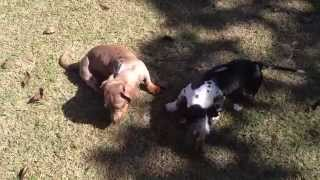 Dachshund And Scottish Terrier Playing!