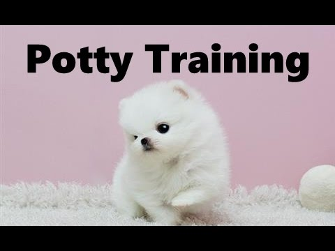how to train a pomeranian how to potty train a pekapom puppy peek a pom house 2400
