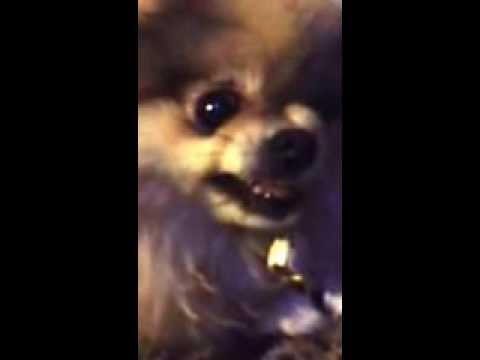 Evil Pomeranian Che Che Doesnt Want Sam Youtube