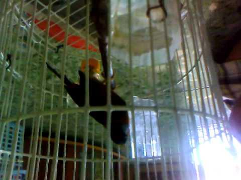 Chim ngu sac.mp4