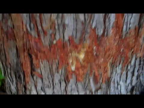 (93) Silver Maple Inspection And Evaluation