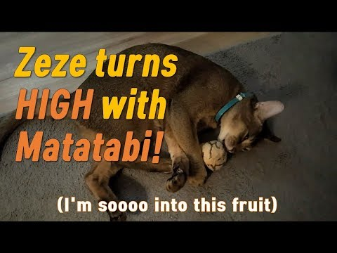 [Zeze the Abyssinian Cat] HIGH with Matatabi fruit!(Silvervine)