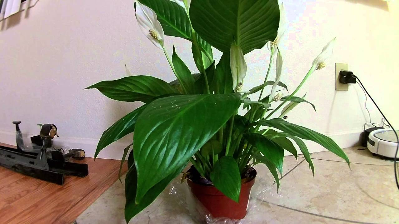 Droopy Peace Lily Youtube