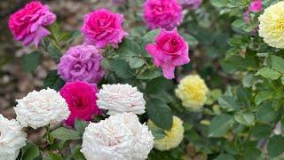 Любимый метод посадки саженцев роз осенью И как не загубить проект розария из-за неудачной зимовки.