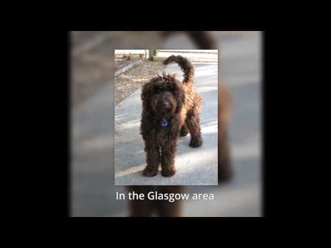 Labradoodle Puppies Glasgow