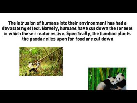 Why Are Pandas Endangered