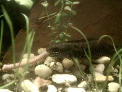 Danube Crested Newt Feeding