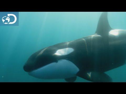 Écouter les orques : Le Mois des Requins