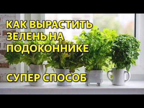 Зелень в домашних условиях