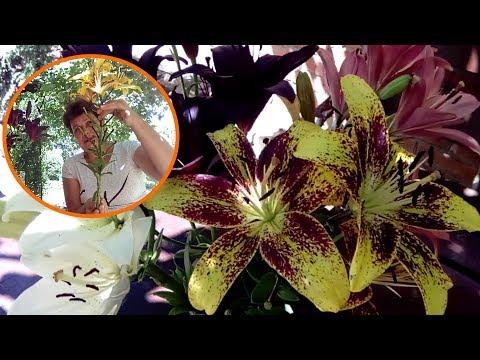 Советы по выращиванию лилий из моего личного опыта Любимая усадьба