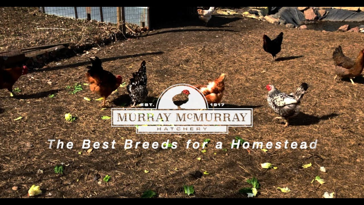 The Best Chicken Breeds for Your Homestead | McMurray Hatchery