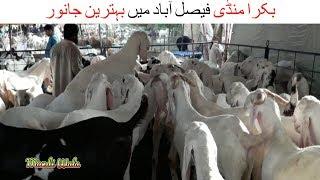 149   Bakra Mandi 2018/2019 Faisalabad   Bakra qurbani   qurbani animals