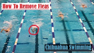 How To Remove Fleas From A Dog , Apple Head Chihuahua Swimming