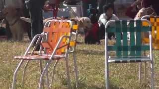 犬 フラットコーテッドレトリバー あんじゅ 軽井沢 レトリバーミート2013.