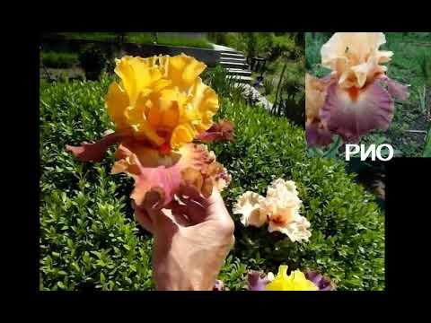Ирисы-сеянцы. Какие сорта передают красивые БОРОДКИ