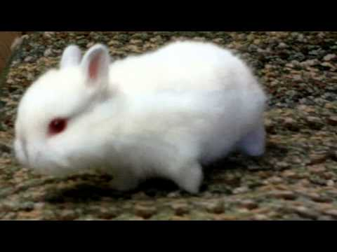 Netherland Dwarf - Himalayan Bunnies For Sale