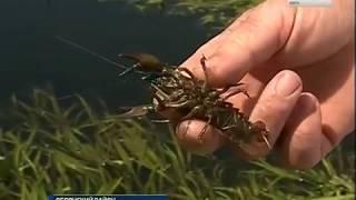 Раки покинули Псел: массовый мор рыбы в Обояни