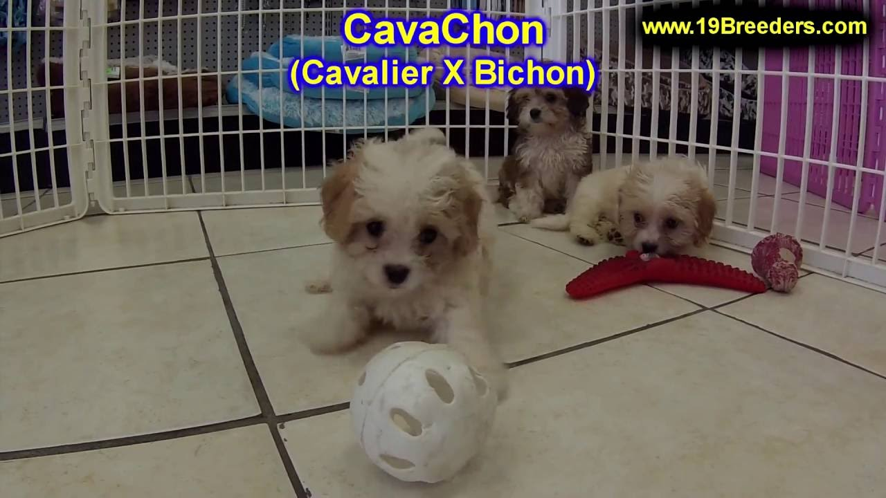 Cavachon, Puppies, Dogs, For Sale, In Kansas City ...