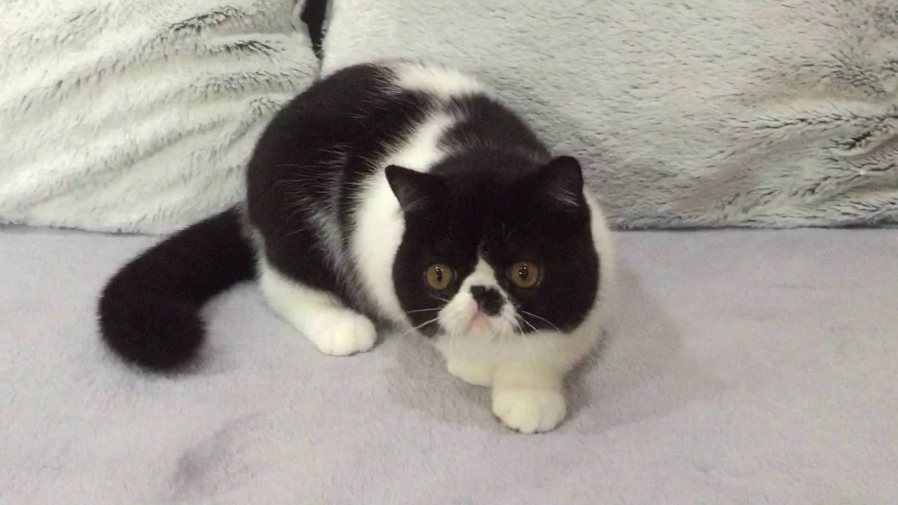 Black and white exotic shorthaired boy