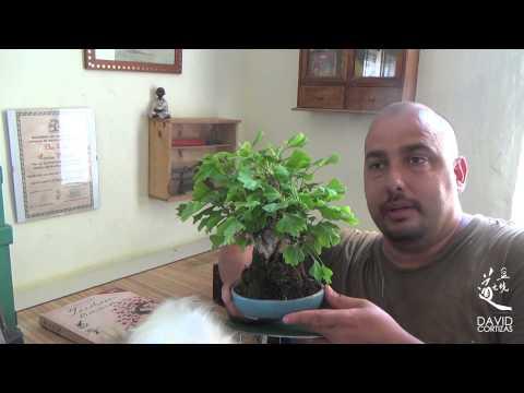 Гинкго билоба - растение, продлевающее молодость