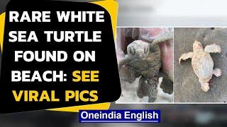 Rare white sea turtle baby found on at the South Carolina beach, pics go viral|Oneindia News