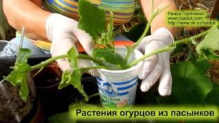 Растения огурцов из пасынков(А также посмотрите видео: Пасынкование томатов в теплице ..., 2016-06-16T08:55:36.000Z)
