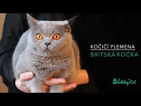 Plemena koček: BRITSKÁ MODRÁ KOČKA