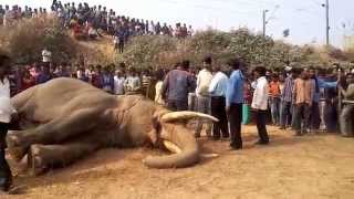No. 1 Accident Elephant in Bishnupur